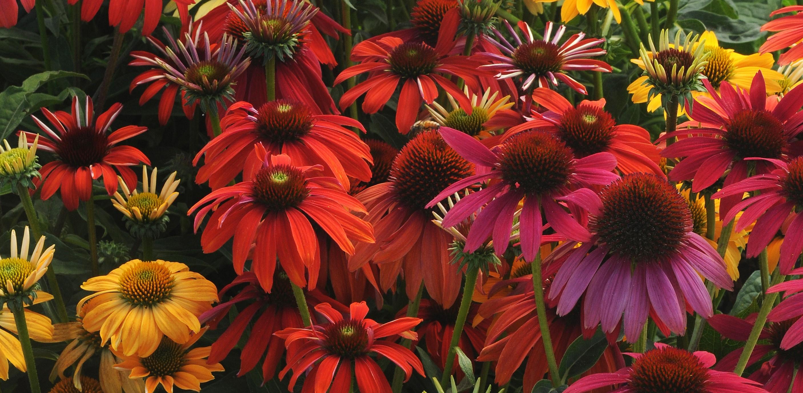 Echinacea Cheyenne Spirit Bloom 3446 USE 2 STAR