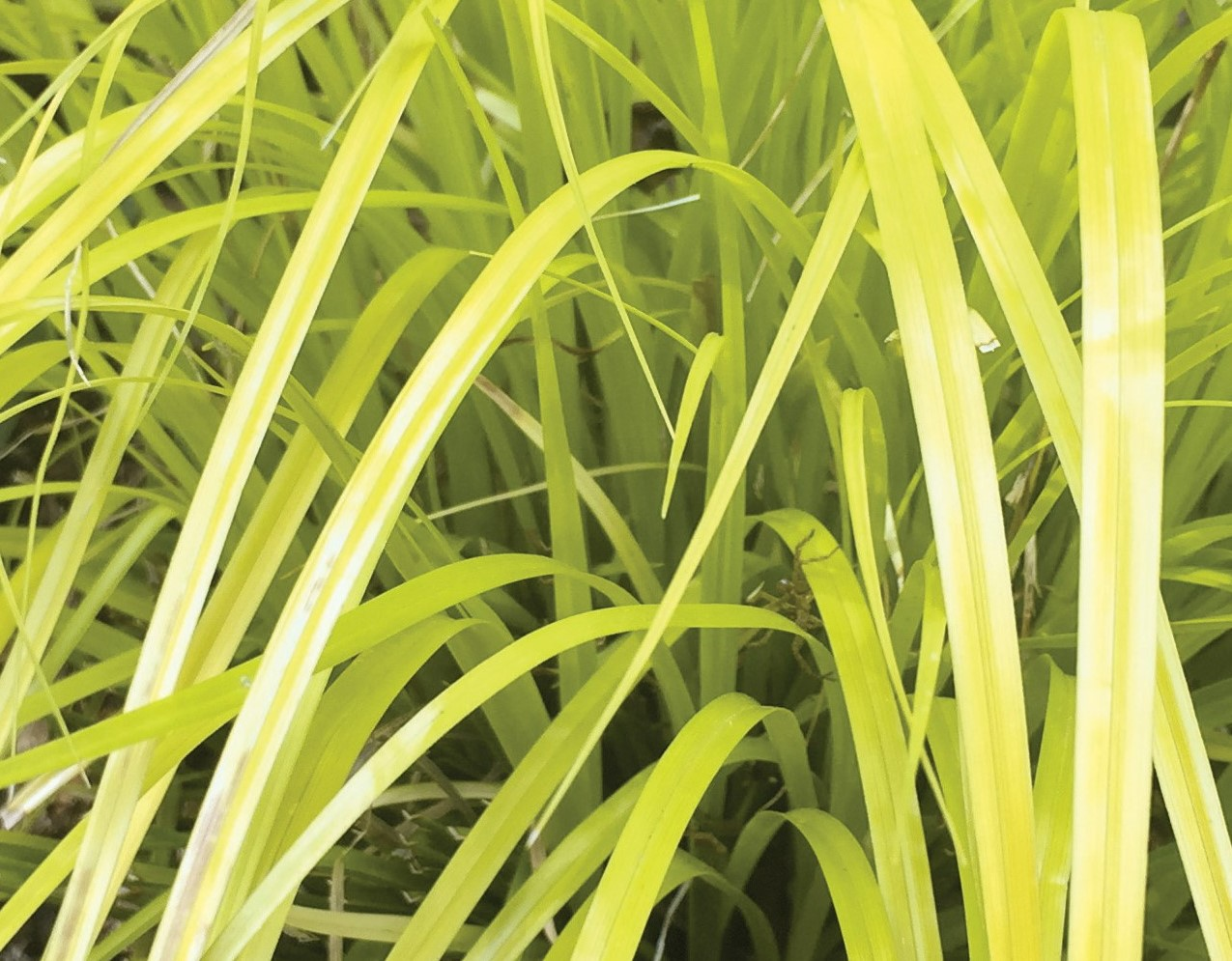 Grass Carex EverColor Everillo Foliage 23601 2
